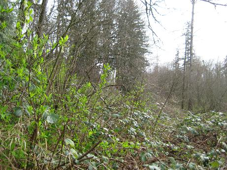 kirkland-highlands-cotton-hill blackberry bushes