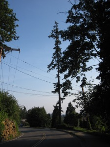 Towering trees along 112th in the Kirkland Highlands