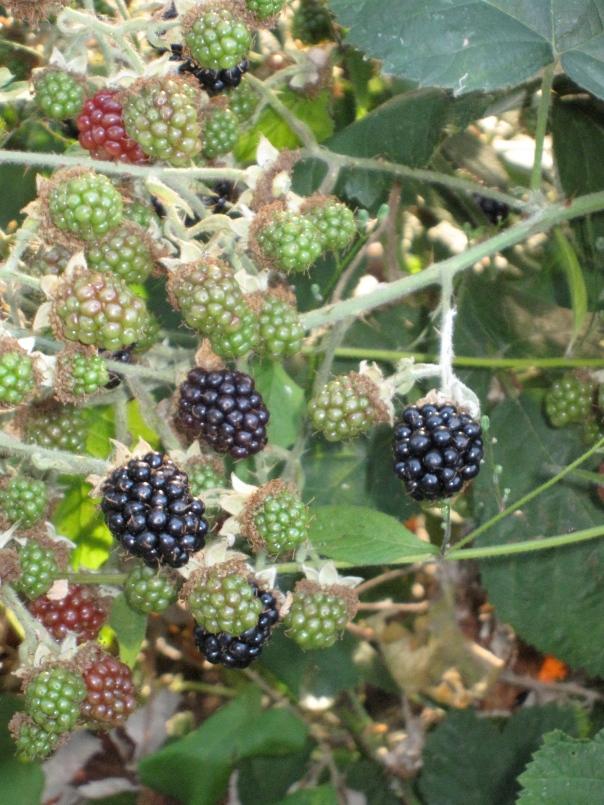 Ripe blackberries in Kirkland
