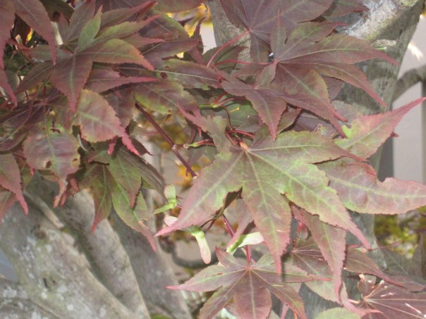 Japanese Red Maple Losing its Color