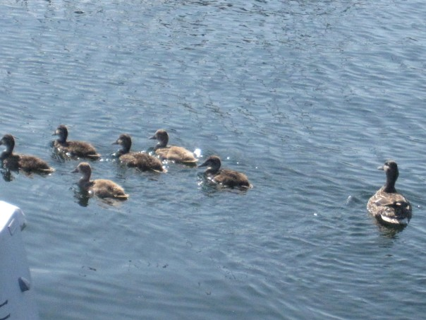 Mother Duck and Ducks on Lake Washington